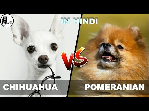 Chihuahua VS Pomeranain | Hindi | COMPARISON | DOG VS DOG | HINGLISH FACTS