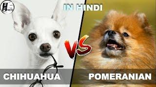 Chihuahua VS Pomeranain | Hind…