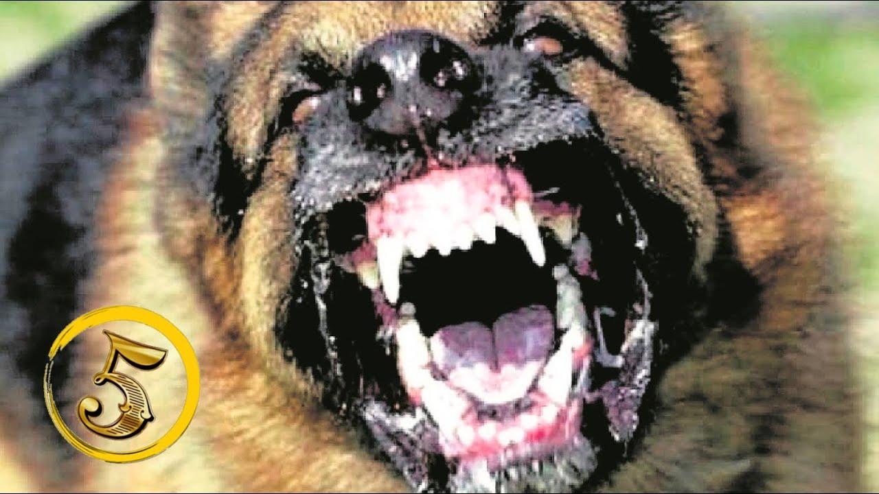 Złota Piątka Najbardziej Agresywne Psy świata Youtube