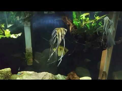 Bloated Angelfish Is Getting Treated With Epsom Salts (Magnesium Sulfate)