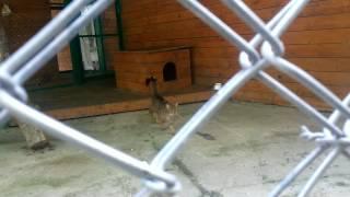 Камышовый кот издаёт странные звуки.