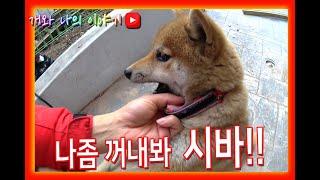Rescue a puppy-shiba-shiba dog