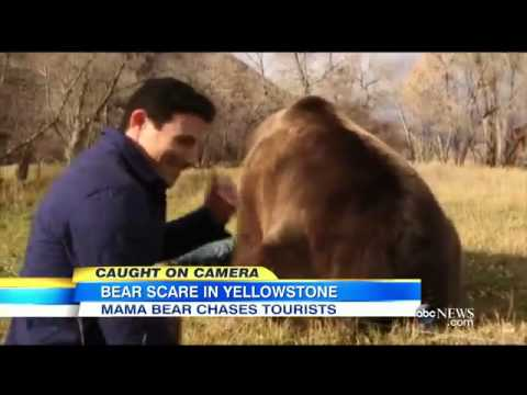 3622 tiere ABC Black Bears Chase Tourists at Yellowstone National Park
