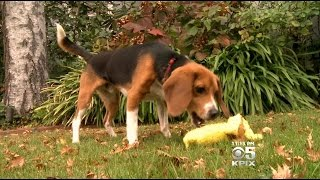 Beagles Rescued From Labs In Bay Area, Nation After Being Used For Chemical Testing