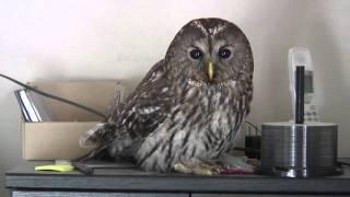去年の10月、カラスに追われたフクロウが俺の寝室に飛び込んできた。ウ...
