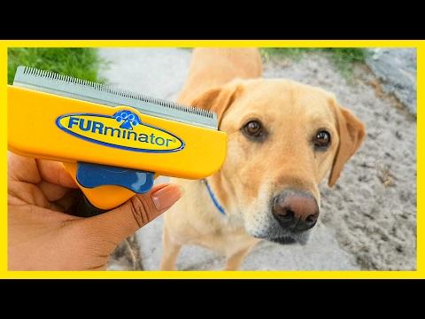 Furminator vs. Labrador