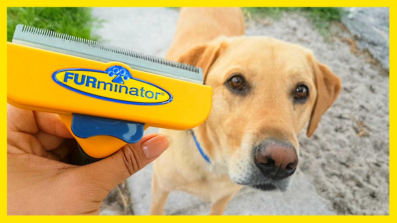 Furminator Vs Labrador Youtube