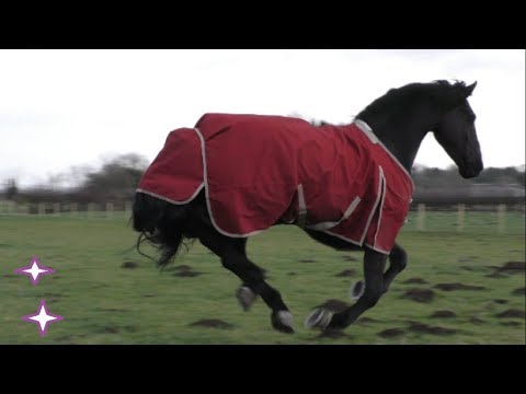 Friesian & Arabian horses playing in their mole hill field.