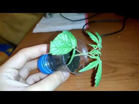 Como Hacer Esquejes de Cannabis