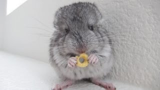 Chinchilla Eating Cheerios