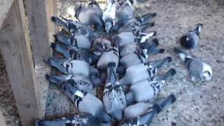 Pigeon Racing Training Racing Pigeons