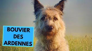 Bouvier des Ardennes Dog Breed - Facts and Information