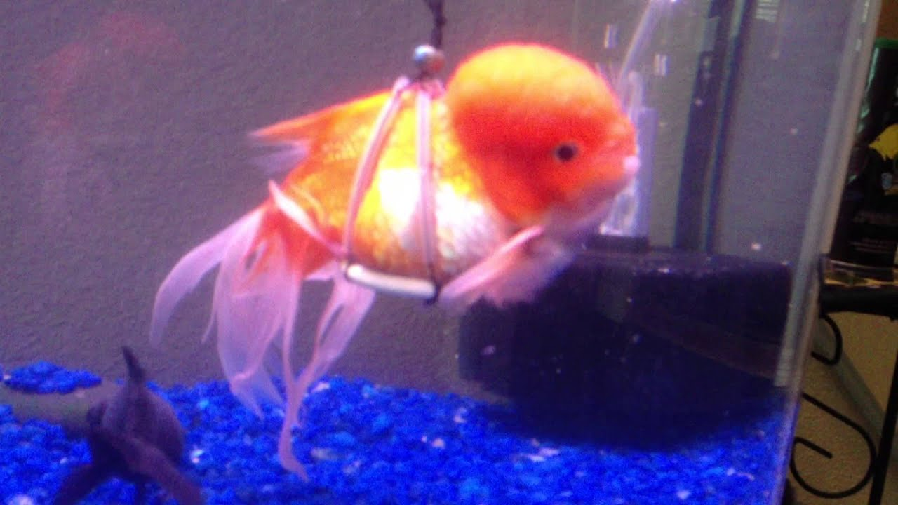 Guppy the goldfish in his new harness youtube for How to fish
