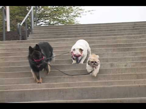 dog-takes-dogs-for-a-walk-down-steps-on-a-leash