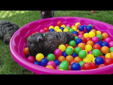 Bouvier Puppy Ball Pit