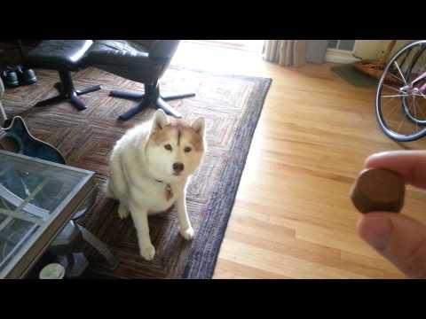 Husky tries Merck Bravecto