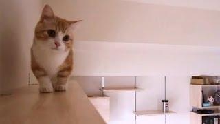 キャットウォークをのんびり巡回 マンチカン 猫/munchkin cat