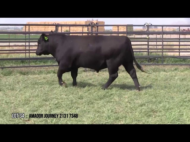 Mid Valley Bull Sale Lot 34
