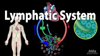 The Lymphatic System Overview, Animation
