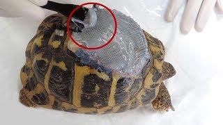 Çim Biçme Makinesi Nedeniyle, Kaplumbağa Kabuğu Yamandı