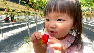 Strawberry Picking イチゴ狩り いちご大好きゆなちゃん