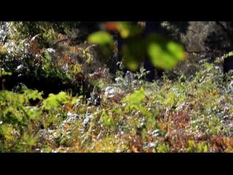 Fallow deer in Ashdown Forest