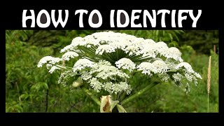 How To Identify Giant Hogweed