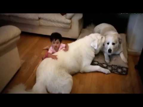 Big Dogs Playing with Babies Compilation  NEW HD VIDEO