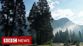 What's killing Yosemite's trees? - BBC News