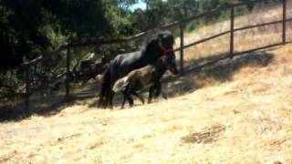 Mini Horses Henry Kapono and Ayana having fun in pasture.AVI