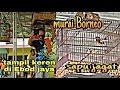Murai Borneo  Sapu Jagat  Tampil Keren Digantangan Ebod Jaya  Mp3 - Mp4 Download