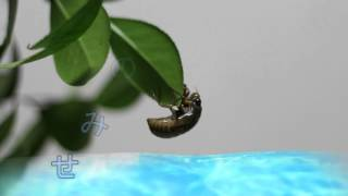 蝉の羽化を、タイムラプスにしてみました。 10秒間隔で写真を撮影しまし...