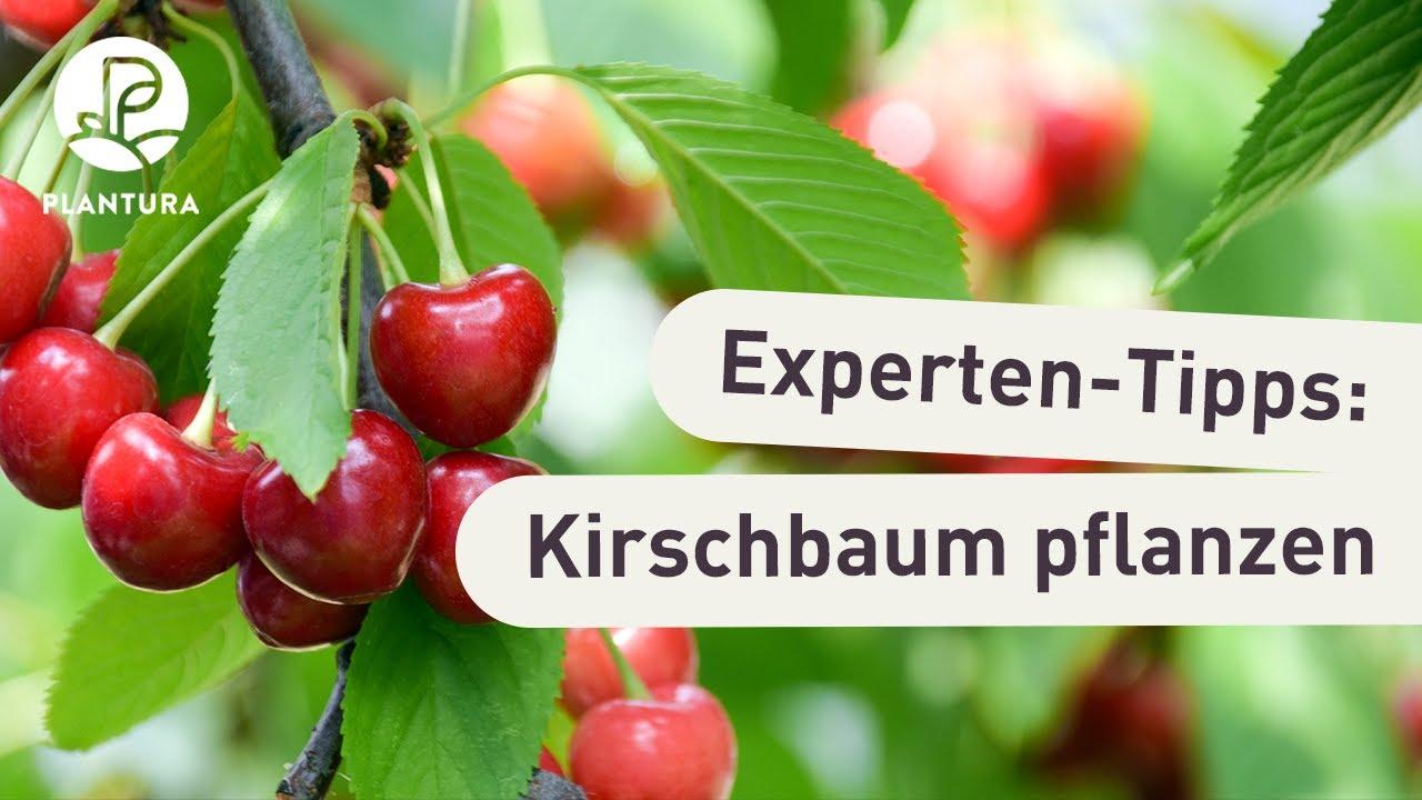 Top Kirschbaum pflanzen: Anleitung & Tipps vom Profi - Plantura @CR_61
