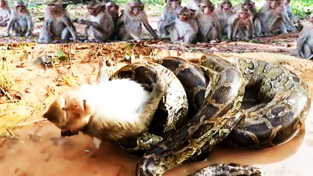 Python swallowed poor monkey - Mongoose vs snake - macaque monkey saved mouse from snake