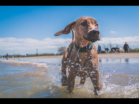 Rhodesian Ridgeback Puppy's First Swim Lesson