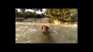 Hd- Chewie Le Border Terrier Saute Et Surf Dans Les Vagues / Wave Surfing - Gopro 240fps