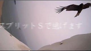 鳥型ラジコンのワシを飛ばしていたら、トンビ夫婦とカラス夫婦が襲って...