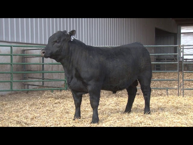 Schiefelbein Angus Farms Lot 247