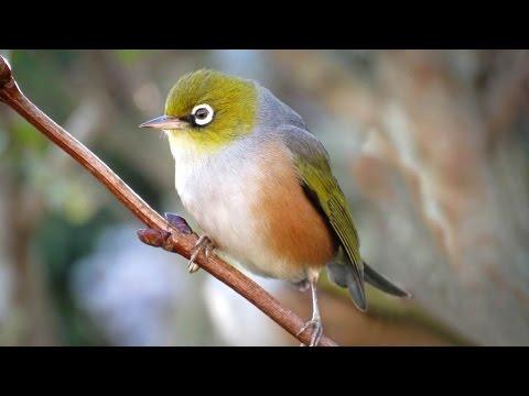 N Z Bell birds , Tuis and Wax eyes feeding .
