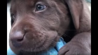 Day 39 - Mocha's Chocolate Labrador Retriever Puppies Get A New Room