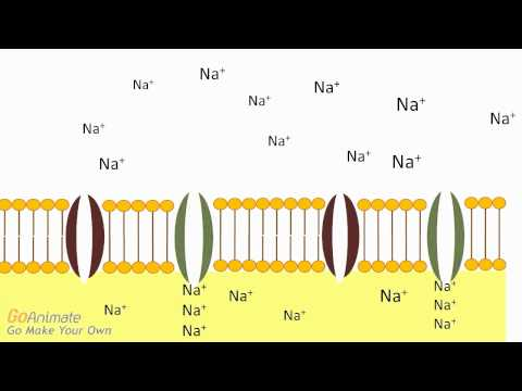 Anatomy and Physiology: Neuron Action Potential