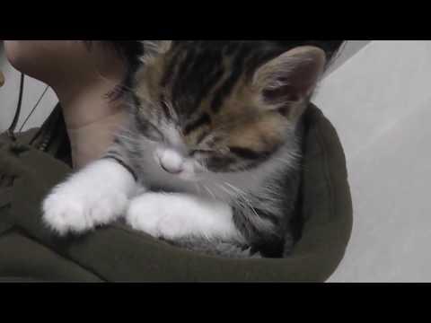 お母さんの肩で寛ぎまくる子猫に癒される