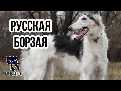 ✔ Русская псовая борзая – одна из самых быстрых собак в мире