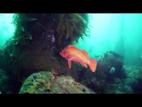 Freediving With Vermilion Rockfish