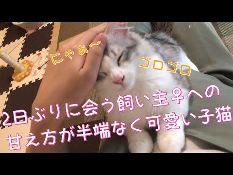 【子猫】2日ぶりに会う飼い主♀への甘え方が半端なく可愛い【サイベリアン】