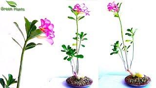 How to Grow Adenium Bonsai Step by Step with 12 Months UPDATES-Adenium Bonsai-Bonsai//GREEN PLANTS