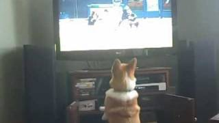 Gibson The Corgi Watches Baseball