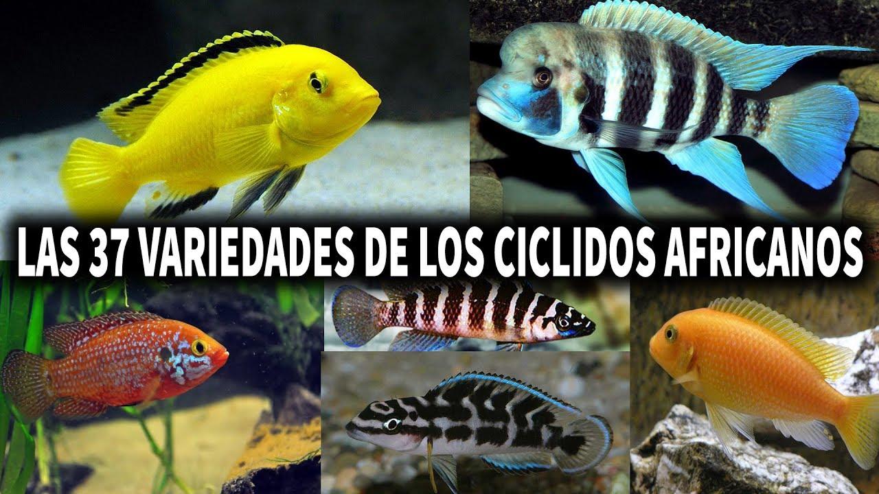 Las 37 variedades de los ciclidos africanos pez ciclido for Variedad de peces