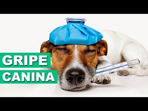 Gripe Canina - Dicas Veterinárias