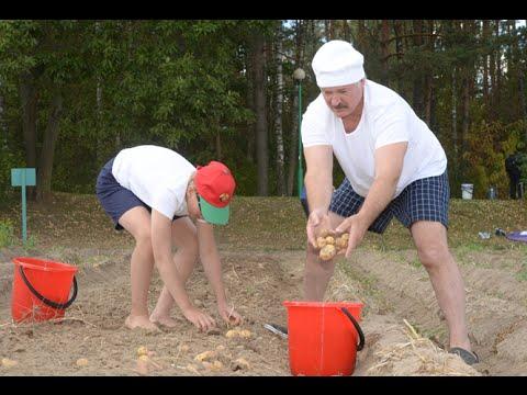 Belarussian President Lukashenko Harvests Potatoes at Official Residence